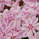 Phlox Candy strips